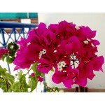 Cyprus. Summer. Bougainvillea. #flowers #flowerlover #bougainvillea #flowerstagram #flowerpower #bougainvilleaflower #bougainvillealovers